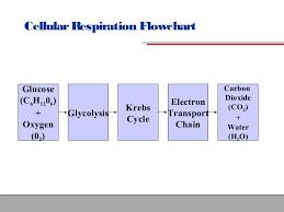 cellular respiration quizlet