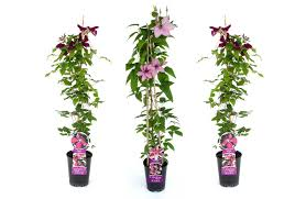 Climbing Plants  Wall Plants  Great Prices  AtkinsClimbing Plants