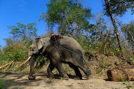 Burma Log Ban Great For Forests But Puts Timber Elephants At Risk