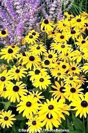 yellow flowering perennial plants tall yellow perennial flowers perennial flowers for sun yellow perennial flowers yellow