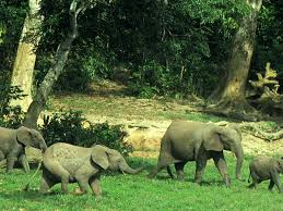 wild animals in african forest. Wonderful African Forest Elephant  New Hero Image And Wild Animals In African H
