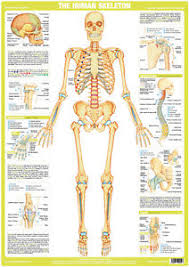 Human Skeleton Wall Chart Details About Skeleton Poster Human Body Anatomy Skeletal Wall Chart