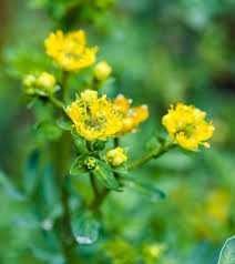 10 amazing benefits of rue herb for