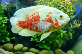 Tiger & Albino Oscar Fish Care Guide: Behavior, Habitat, And ...