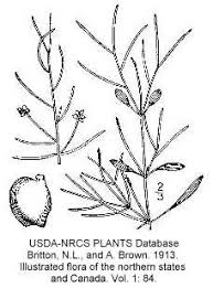 Potamogeton pusillus subsp ... - Online Virtual Flora of Wisconsin