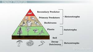 Ecosystem Pyramid Chart What Is An Energy Pyramid Definition Examples