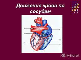 Презентация на тему Движение крови по сосудам Причина движения  1 Движение крови по сосудам