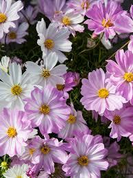 bedding plants cosmos pink ice