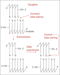 dna replication and repair dna proof reading and repair figure % 3 to 5 exonuclease action
