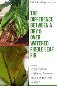 view larger image the two most mon problems for fiddle leaf fig plants are