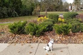 best evergreen shrubs for your garden