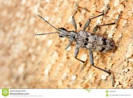 Pine Borer Ribbed Pine Borer Stock Image Image Of Ribbed Pest 24883683