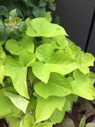 Light Green Sweet Potato Vine