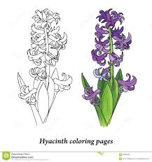 Hyacinth Coloring Pages Stock Vector Illustration Of Drawing 89284835