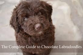 Labradoodle Color Chart Chocolate Labradoodle Labradoodles Dogs