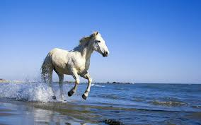 white horses running in water. Brilliant Water For White Horses Running In Water T