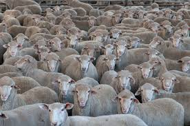 Image result for HERD OF sheep