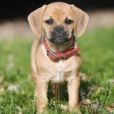 Puggle Growth Chart Puggle Puppies For Sale From Reputable Dog Breeders
