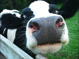 Image result for Dairy cows