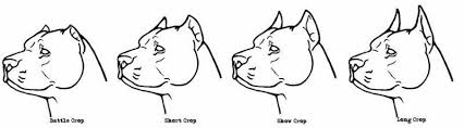 Pitbull Ear Crop Chart Pitbull Ear Cropping Styles I Like The Short And Show Crop