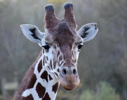 pictures of a giraffe. Perfect Pictures Giraffe Inside Pictures Of A