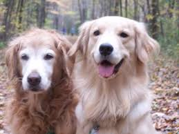 gold golden retriever. Simple Golden Gold Myself  I Am Interested In Your Feedback On This Have Also  Seen A White Version They Are All Beautiful But Think Golden Should Be Throughout Gold Golden Retriever