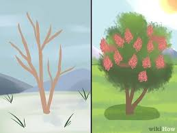 3 Ways to Prune a Crepe Myrtle - wikiHow