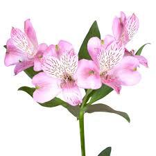 fresh pink alstroemeria flowers 80 stems 320 blooms