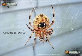 Michigan Spiders Identification Chart Orb Weaver