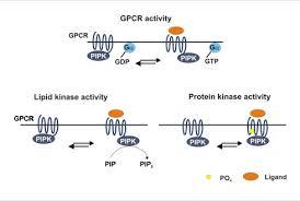 Gpcr Signaling Gpcr Pipks A Novel Class Of Signaling Molecules Wur