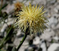 Centaurea dichroantha - Wikipedia