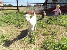 Raising Lamancha Goats Ultimate Guide For Beginners Boer