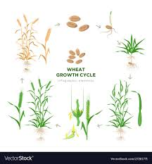 Wheat Growth Stages Chart Wheat Growing Stages Life Cycle Wheat Plant