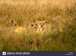 lioness stalking in grass. Exellent Lioness Lioness Hiding In The Long Grass  Stock Image And Lioness Stalking In Grass N