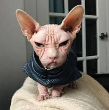angry hairless cat. Delighful Angry Why Are You So Mad Inside Angry Hairless Cat Y