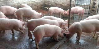 Pig Feeding Chart By Age Pdf Starting Pig Farming Business In South Africa Business
