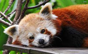 Cute animals, Cute baby animals, Red panda