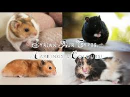 Syrian Hamster Fur Types Markings Colours