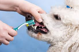 dog owners spend more on canine teeth than their own fast forward ozy