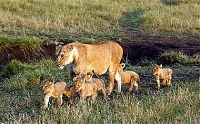lioness and 4 cubs. Wonderful Lioness To Lioness And 4 Cubs W