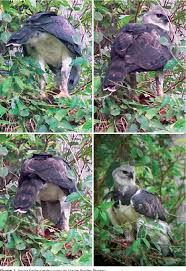 Pdf Harpy Eagle Harpia Harpyja Preying On An Ursine Howler Monkey