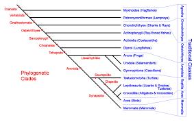 Vertebrate Phyla Chart Phylogenetic Taxonomy Of The Vertebrates