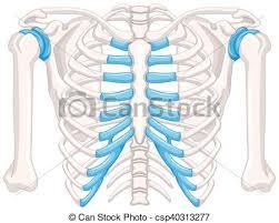 Human Bone Chart Human Bone Diagram On White Background