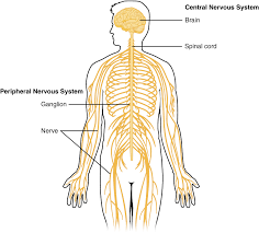 Cns And Pns Chart Central Nervous System Wikipedia