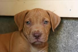 brown red nose pitbull puppies. Modren Pitbull Red NoseBlue Nose Pitbull Puppy  By Texbeck Inside Brown Puppies W