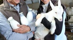 Dairy Goat Breeds Milking Stats For Dairy Goat Breeds