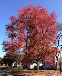 Tree Growth Rates Chart Uk Acer Rubrum Wikipedia