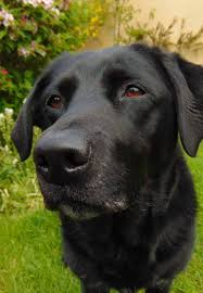 black labrador retriever. Plain Retriever Black Labs Are Loving Dogs And Make Great Hunting Companions On Black Labrador Retriever