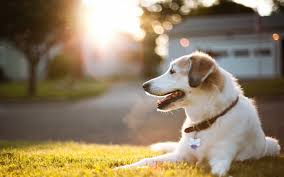 dog wallpapers free wide pets s hd desktop images