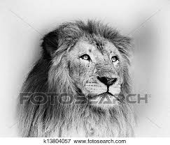 black and white lion portrait. Exellent Black Stock Illustration  Striking Black And White Lion Face Portrait   Fotosearch Search EPS Clipart In And B